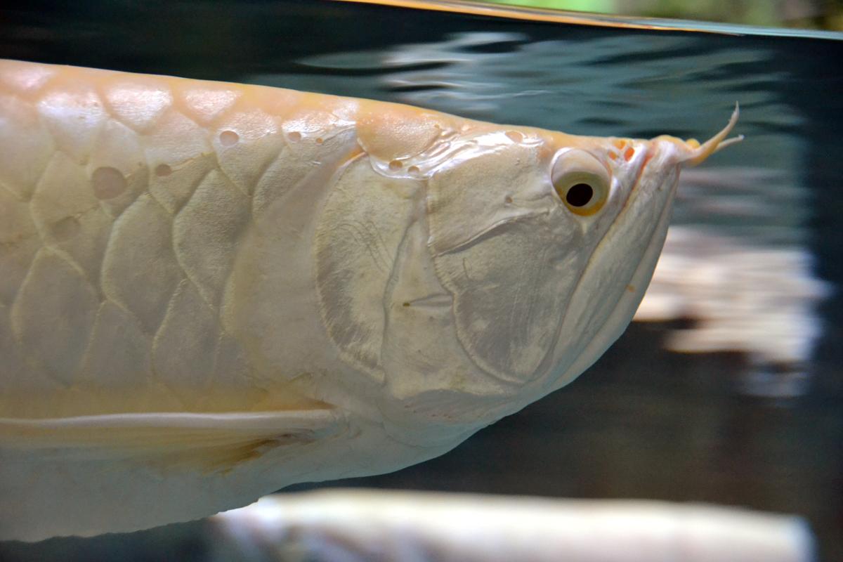 8.  Это рыба с недовольным лицом - серебрянная аравана.
